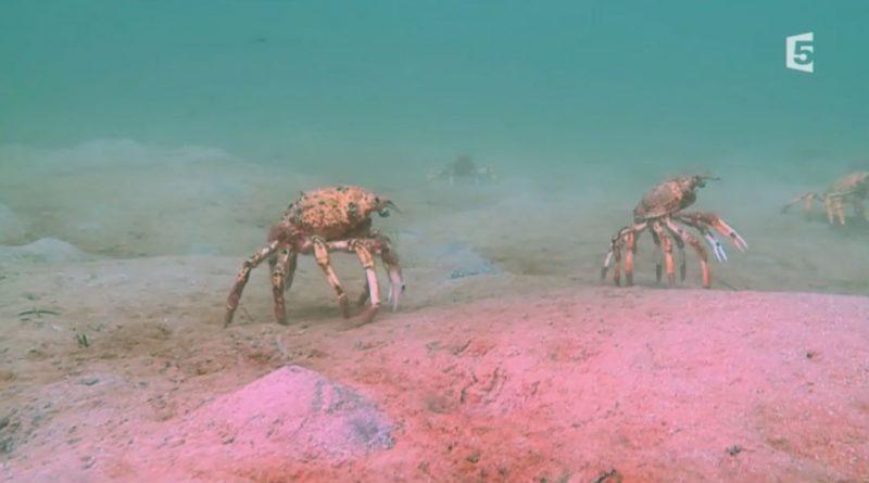La marche des araignées de mer
