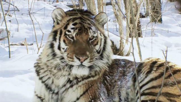 a la recontre des tigres de siberie