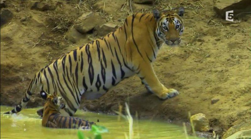 la terre du tigre