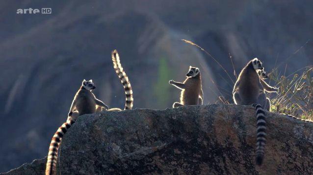 le lemurien de madagascar