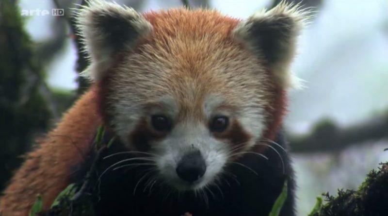 le panda roux de l himalaya
