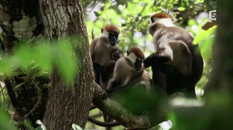 au coeur de la canopee gorilles en danger