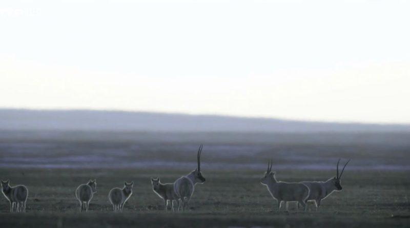 l antilope du tibet une course pour la vie