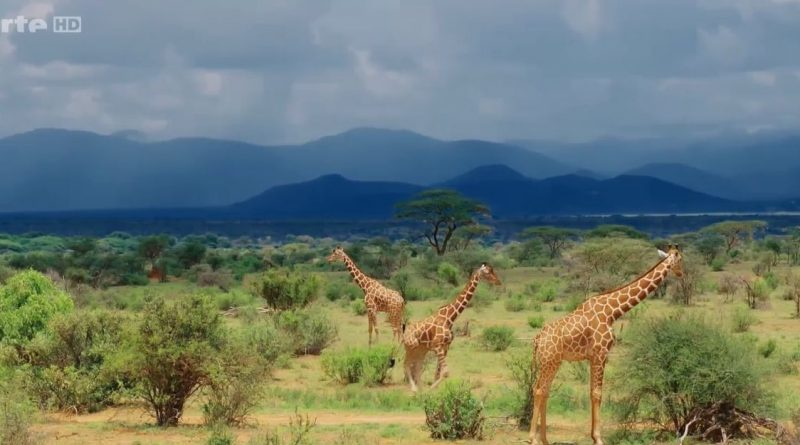girafes les dernieres geantes