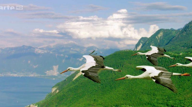 Les oiseaux migrateurs, les messagers du monde