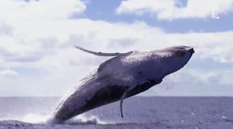 au coeur du paradis blanc le chant des baleines