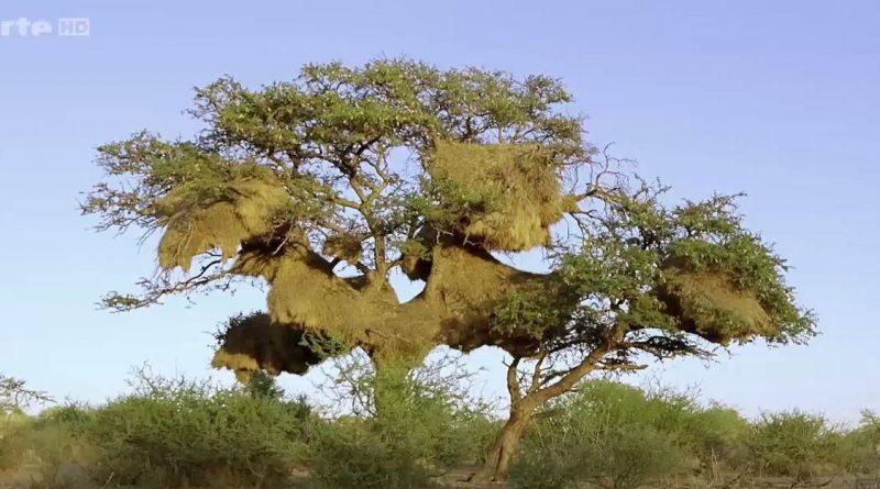 le guepard et l acacia
